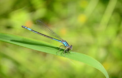 Blue-fronted Damselfly Stock Images