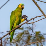 Blue-fronted parrot, parrot eating Royalty Free Stock Photography