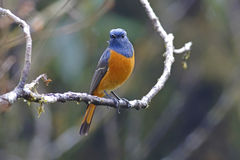 Blue-fronted Redstart Phoenicurus frontalis Male Birds of Thailand Stock Photos