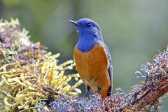 Blue-fronted Redstart Phoenicurus frontalis Male Birds of Thailand Stock Photography