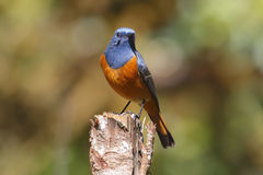 Blue-fronted Redstart Phoenicurus frontalis Male Birds of Thailand Stock Image