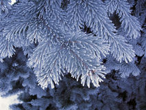 Blue frost spruce, super frost space needle. Snow white blue tree branches Stock Photos
