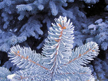 Blue frost tree, snow space needle. Snowing blue tree branches Stock Image