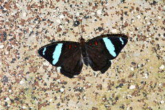 Blue-Frosted Banner butterfly Stock Photos