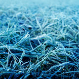 Blue frosty grass. Blue frosty  grass in a autumn morning Stock Images