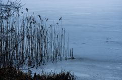 Frozen lake. Blue frozen lake and reeds Stock Images