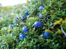 Blue fruit Royalty Free Stock Photo