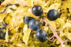 Blue fruits blackthorn Royalty Free Stock Images