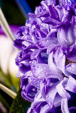 Blue fuzzy (hyacinthus orientalis) with waterdrops Stock Photo