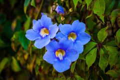 Blue gallens. Beautiful close up flowers at daylight Stock Image