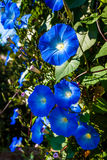 Blue gallens. Beautiful close up flowers at daylight Royalty Free Stock Photo