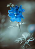 Blue garden flower Royalty Free Stock Photography