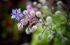 Blue garden flower closeup photo Stock Photography