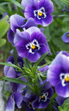 Blue garden pansy blossoms Stock Images