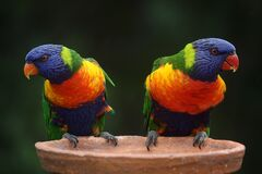 Blue Geeen and Orange Parrot Stock Photography