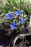 Blue gentiana. A specific mountain flora Royalty Free Stock Image