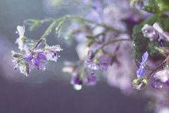 Blue gentle spring flowers Royalty Free Stock Images