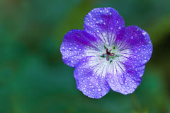 Blue Geranium or Cranesbill flower Royalty Free Stock Images