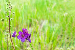 Blue geranium flower meadow or meadow geranium in the summer morning in a green field. Background pratense bloom blossom flora nature garden plant purple wild royalty free stock photo