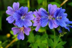 Blue geranium flowers. Royalty Free Stock Image