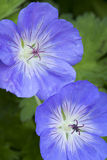 Blue Geranium flowers. In the garden stock photography