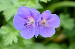 Blue geranium Royalty Free Stock Image