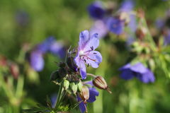 Blue Geranium pratense flower. Geranium pratense known as the meadow crane`s-bill or meadow geranium Stock Image