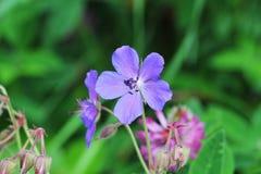 Blue Geranium pratense flower. Geranium pratense known as the meadow crane`s-bill or meadow geranium Royalty Free Stock Photos