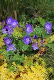 Blue Geranium with yellow plants Stock Photo