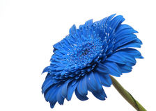The blue  gerbera Stock Photo
