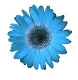 Blue gerbera daisy Royalty Free Stock Photography