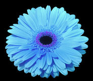 Blue gerbera flower, black isolated background with clipping path. Closeup., Royalty Free Stock Photo