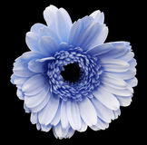 Blue gerbera flower, black isolated background with clipping path.   Closeup.  no shadows.  For design. Stock Photos