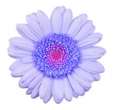 Blue gerbera flower isolated Royalty Free Stock Image