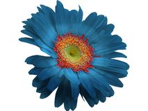 Blue Gerbera Flower isolated with PNG format. Blue Gerbera Flower isolated with white background with PNG format. Macro Photograph royalty free stock photos