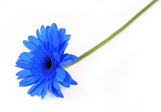 Blue gerbera flower  on white Royalty Free Stock Image