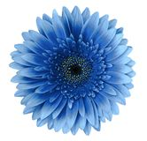 Blue gerbera flower on a white isolated background with clipping path.   Closeup.   For design. Nature Stock Image