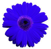 Blue gerbera flower, white isolated background with clipping path.   Closeup.  no shadows.  For design. Stock Images