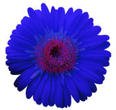 Blue gerbera flower, white isolated background with clipping path.   Closeup.  no shadows.  For design. Stock Image