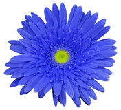 Blue gerbera flower, white isolated background with clipping path.   Closeup.  no shadows.  For design Stock Images