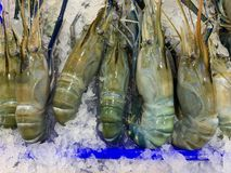 Blue giant shrimp on the ice powder royalty free stock photos