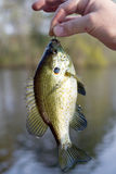 Blue Gill. Fish caught in a lake and still on the hook Stock Photography