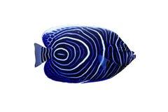 Blue girdled angel. Pomacanthus navarchus blue girdled angel sea fish isolated on white background royalty free stock photos