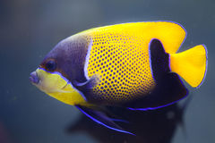 Blue-girdled angelfish Pomacanthus navarchus. Also known as the majestic angelfish royalty free stock image