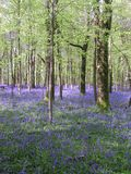 Blue glade. Woodland glade with bluebells growing throughout stock image