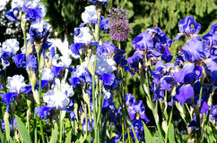 Blue gladiolas Stock Image
