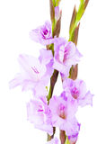 Blue gladiolus flowers Stock Image