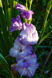 Blue gladiolus Stock Photo
