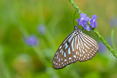 Blue Glassy Tiger Butterfly Stock Photo