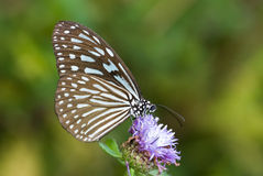 Blue glassy tiger butterfly Stock Image